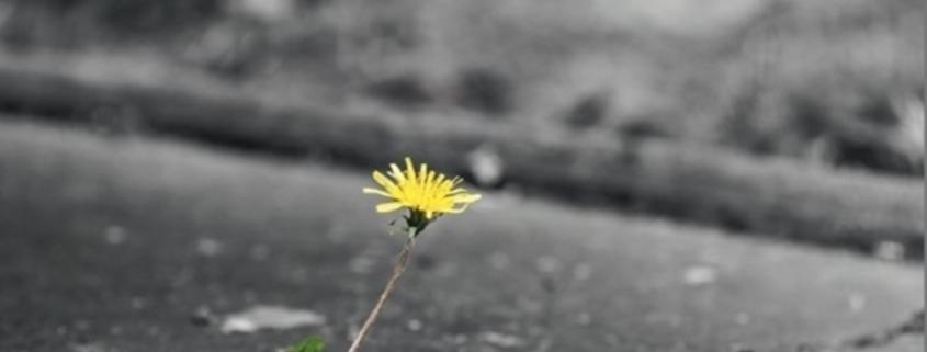 Blume wächst aus Asphalt